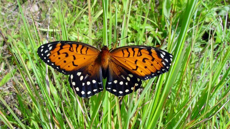 A regal fritillary butterfly, a local species that's classified as threatened in Illinois.