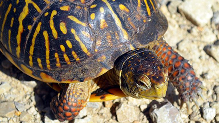 Ornate box turtles are a threatened species in Illinois due to habitat loss, but they've recently been released onto a wild sand prairie. (USFWS)
