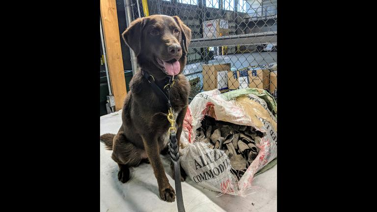 Rusty, an agriculture detection dog, sits next to contraband found on July 24, 2018 at an Air France cargo warehouse at O'Hare International Airport. (Courtesy U.S. Customs and Border Protection)