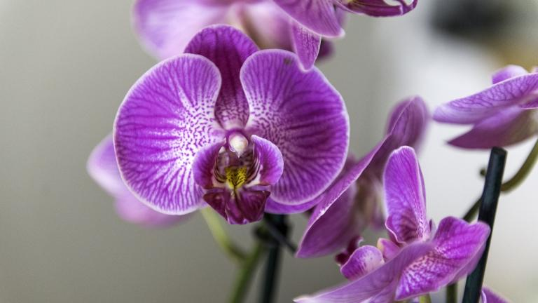 The Chicago Botanic Garden has canceled 2021's Orchid Show. (stanbalik / Pixabay)