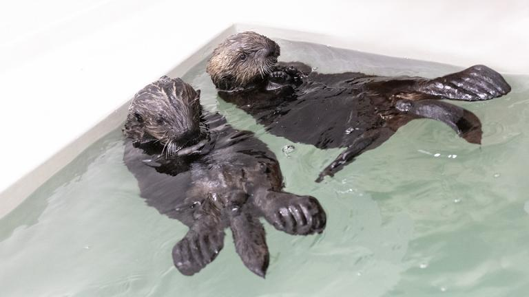 Two southern sea otter pups arrived at Shedd Aquarium in July after being rescued in California. (Brenna Hernandez / Shedd Aquarium)
