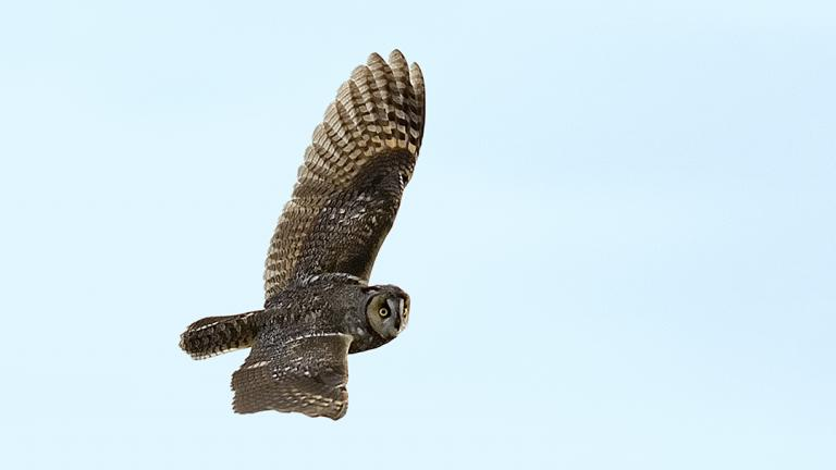 A long-eared owl (Courtesy of Rob Curtis)