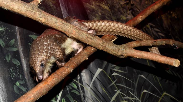 """David, a young male pangolin, is part of Brookfield Zoo's """"Habitat Africa! The Forest"""" exhibit. (Credit: Chicago Zoological Society)"""
