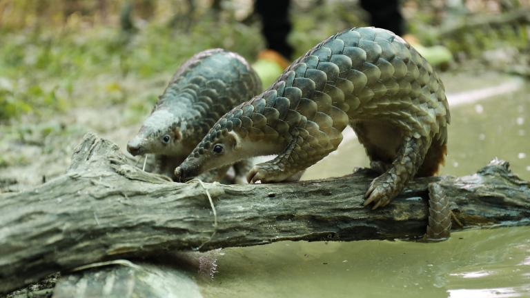Pangolins (USAid Asia / Flickr)