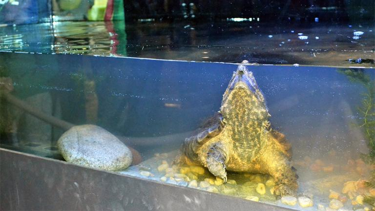 Peggy Notebaert Nature Museum's alligator snapping turtle, Patsy McNasty, moved into a bigger tank Jan. 19. (Alex Ruppenthal / Chicago Tonight)
