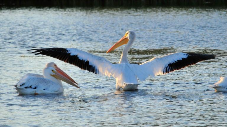 The wingspan of the American white pelican is second only to the California condor. (Skeeze / Pixabay)