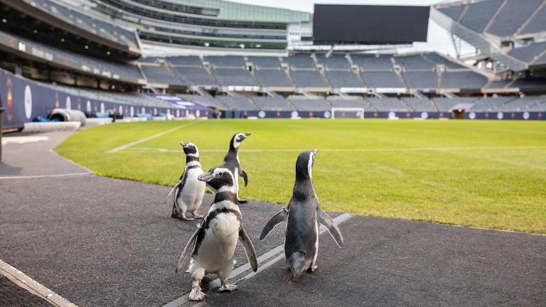 Penguins from the Shedd Aquarium recently paid a visit to Soldier Field. (Brenna Hernandez / Shedd Aquarium)