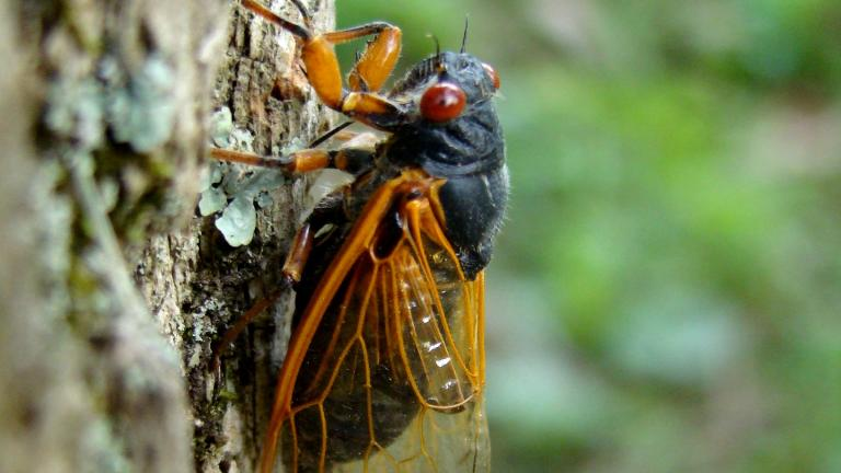 Periodical cicadas are identifiable by their red eyes. (Dan Keck / Pixabay)