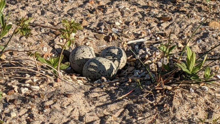 Three piping plover eggs have been confirmed by wildlife officials. (Courtesy of Chicago Park District)