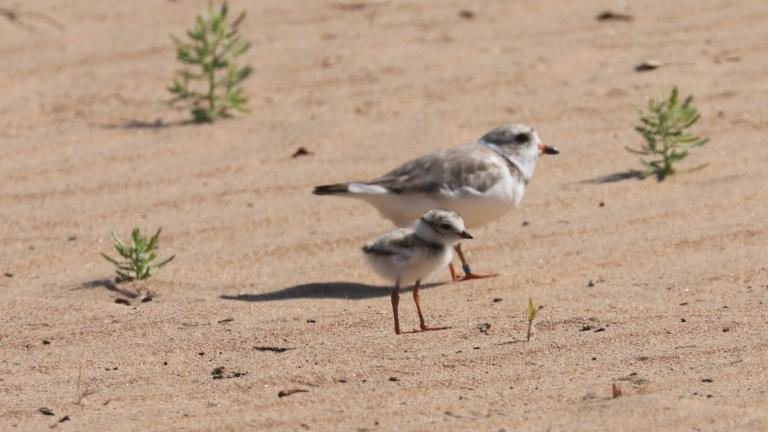 A plover parent and chick at Montrose Beach in 2019, courtesy of the Shedd Aquarium. (Credit: Susan Szeszol)