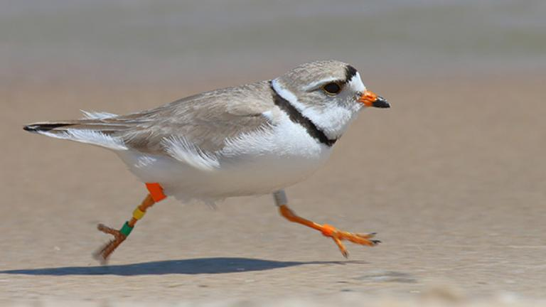 Great Lakes piping plovers, like the one pictured, don't tend to spend the winters with their mate. (Vince Cavalieri / U.S. Fish and Wildlife Service)