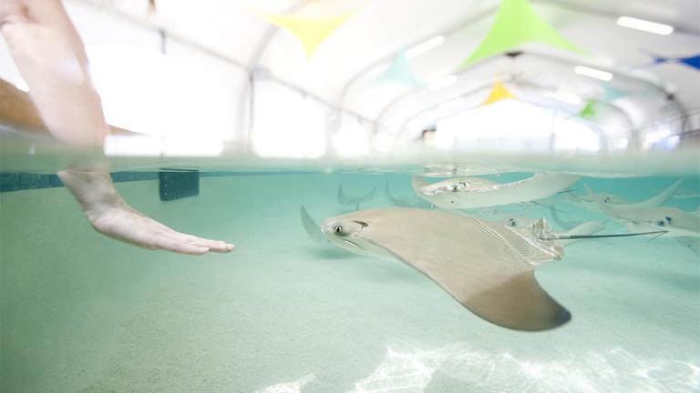 """Visitors can get up close and personal with cownose rays at Shedd Aquarium's seasonal exhibit """"Stingray Touch."""" (Courtesy Shedd Aquarium)"""