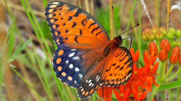 Regal fritillary butterfly. (Doug Taron)
