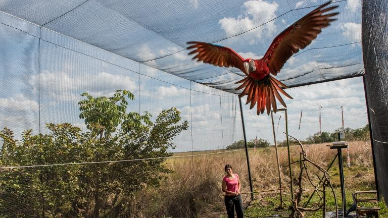 A green-winged macaw being trained prior to its release in the Iberá Park in Corrientes, Argentina (Beth Wald / Lincoln Park Zoo)