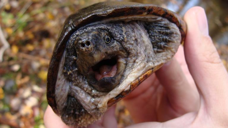 A common musk turtle (Colin Osborn / U.S. Fish and Wildlife Service)