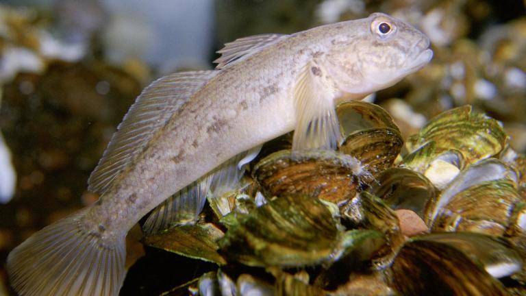 Specimens of the round goby were among the species included in the micro plastics study. (U.S. Fish and Wildlife Service / Eric Engbretson)