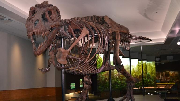 "Sue the T. Rex inside a new ""private suite"" at the Field Museum (Photos by Alex Ruppenthal / WTTW)"