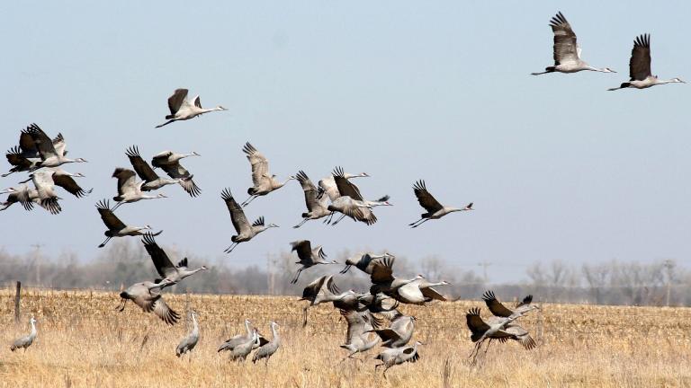 Sandhill cranes. (ladymacbeth / Pixabay)
