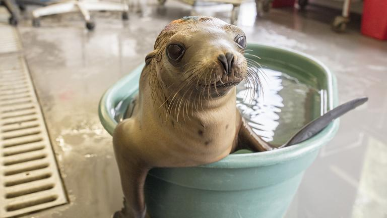 A rescued sea lion pup receives fluids in a warming pool at Channel Island Marine & Wildlife Institute in California. (Brenna Hernandez / Shedd Aquarium)