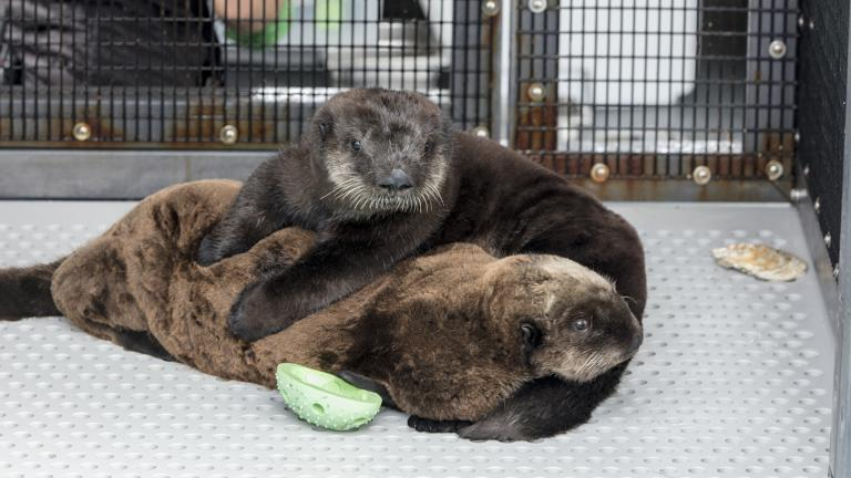 Two sea otter pups arrived at Shedd Aquarium on July 8, 2019, after being rescued in California. (Brenna Hernandez / Shedd Aquarium)