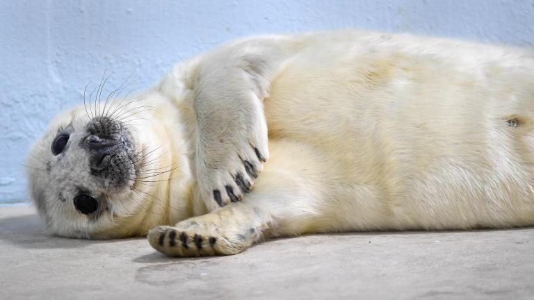 A male gray seal was born at Brookfield Zoo on Dec. 26. (Jim Schulz / Chicago Zoological Society)