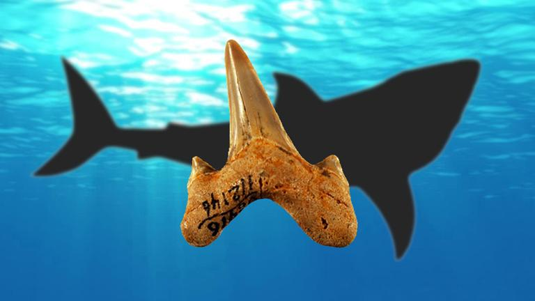 A newly identified species of shark, Megalolamna paradoxodon, lived about 20 million years ago and measured roughly 13 feet in length. (Kenshu Shimada / DePaul University)