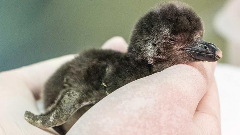 A Magellanic penguin chick hatched May 12 at Shedd Aquarium. (Courtesy Shedd Aquarium)