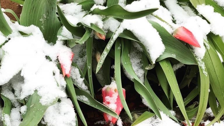 It wouldn't be spring in Chicago without a dusting of snow. (Patty Wetli / WTTW News)