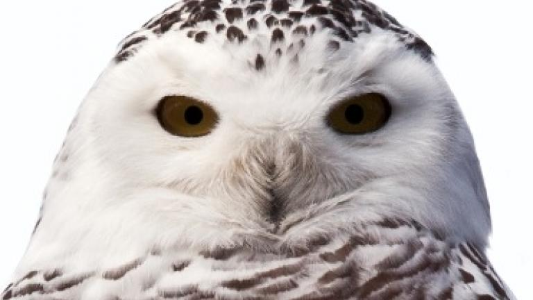 Snowy Owl, courtesy of Lincoln Park Zoo