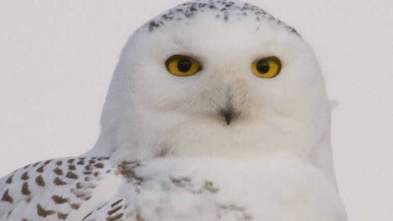 Snowy Owl. Image credit: Jerry Goldner