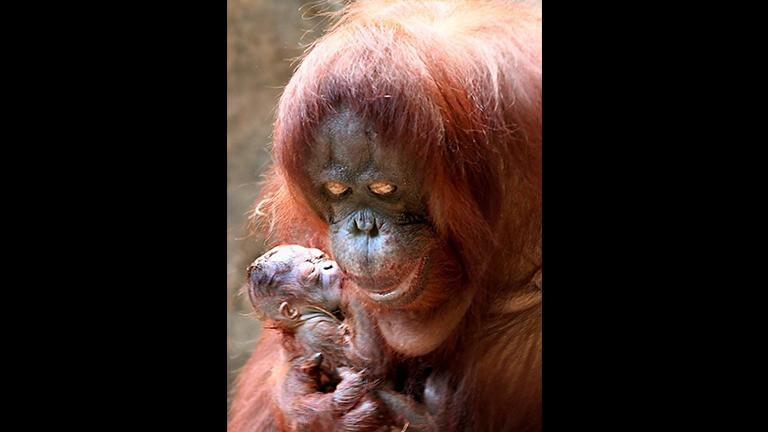 Sophia, a 35-year-old Bornean orangutan, gave birth to a female ape on Dec. 20. (Chicago Zoological Society)