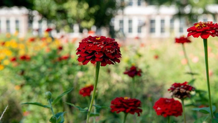 Southside Blooms grows it own flowers, on farms in Englewood, West Woodlawn and West Garfield Park. (Southside Blooms / Facebook)
