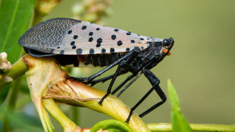 The spotted lanternfly threatens grape, apple, pear, cherry and hop plants and trees, among others. (Chesapeake Bay Program / Flickr)