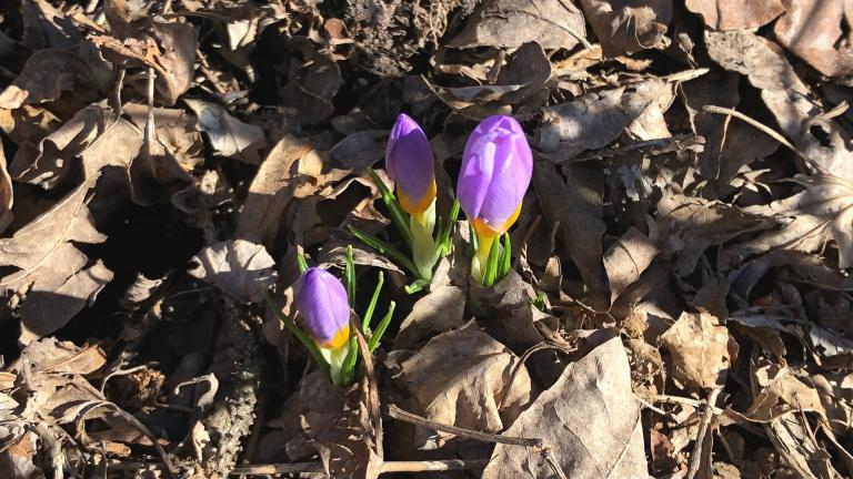 Spring is coming through with signs of life and hope. (Patty Wetli / WTTW)