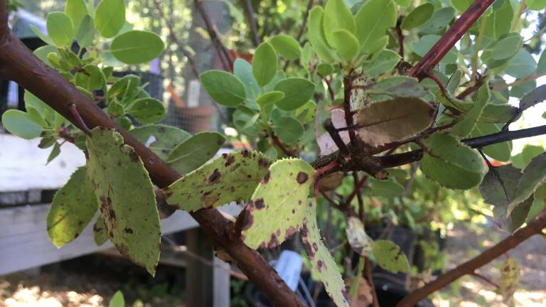 Leaves on a tree affected with Phytophthora ramorum, also known as sudden oak death (Courtesy California Oak Mortality Task Force)