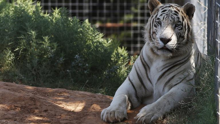 In this Wednesday, Aug. 28, 2013, file photo, one of the tigers living at the Greater Wynnewood Exotic Animal Park is pictured at the park in Wynnewood, Okla. (AP Photo / Sue Ogrocki, File)