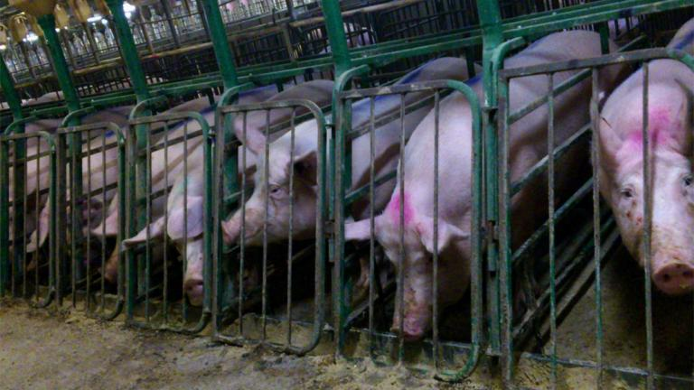 Hog confinement facilities, like this one in the Canadian province of Manitoba, often use gestation crates that prevent pigs from being able to turn around. (Mercy For Animals Canada / Flickr)