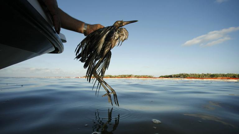 In this June 26, 2010 file photo, Plaquemines Parish Coastal Zone Director P.J. Hahn rescues a heavily oiled bird from the waters of Barataria Bay, La. (AP Photo / Gerald Herbert, File)