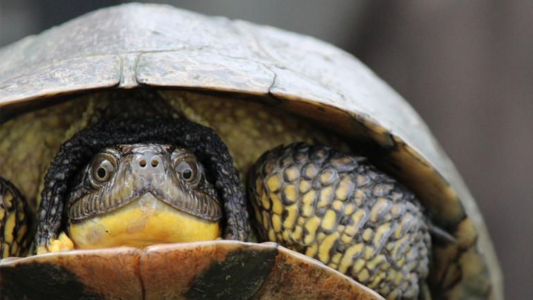 The Peggy Notebaert Nature Museum is raising endangered turtles in captivity until they grow large enough to fend for themselves. (Peggy Notebaert Nature Museum)