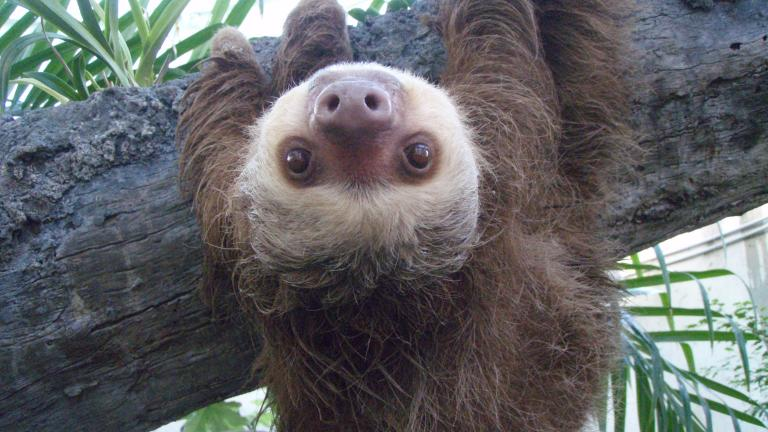 Hang out with a sloth and other creatures at Garfield Park Conservatory. (Ontley / Wikimedia Commons)