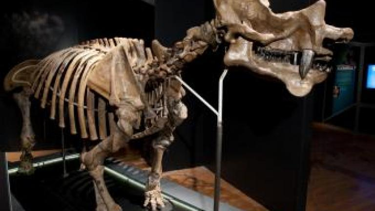 Uintatherium, Courtesy The Field Museum © AMNH/ D. Finn