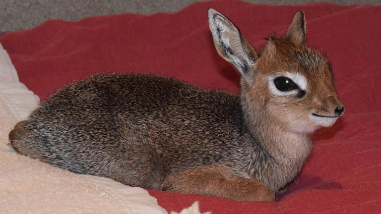 Valentino, a small African antelope, was born Thursday at Brookfield Zoo. (Cathy Bazzoni / Chicago Zoological Society)
