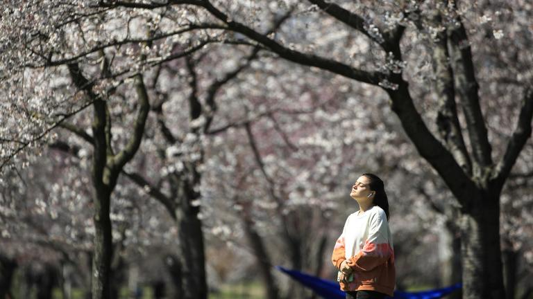 In this March 26, 2020, photo, a person takes in the afternoon sun amongst the cherry blossoms along Kelly Drive in Philadelphia. (AP Photo / Matt Rourke)