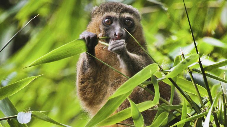 This 2019 photo provided by Noel Rowe and Centre ValBio shows a golden bamboo lemur in Madagascar. (Noel Rowe / Centre ValBio via AP)