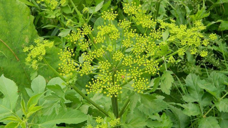 A wild parsnip plant (Pictured Rocks National Lakeshore / Flickr)