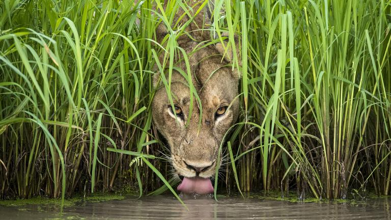 A lioness drinks from a waterhole in Zambia's South Luangwa National Park. (© Isak Pretorius, South Africa)