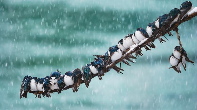 Swallows huddled together during a snowstorm (Keith Williams / Flickr)