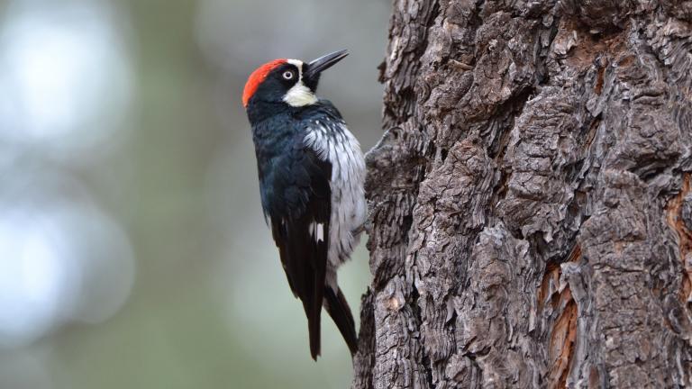A downy woodpecker (RaechelJ / Pixabay)