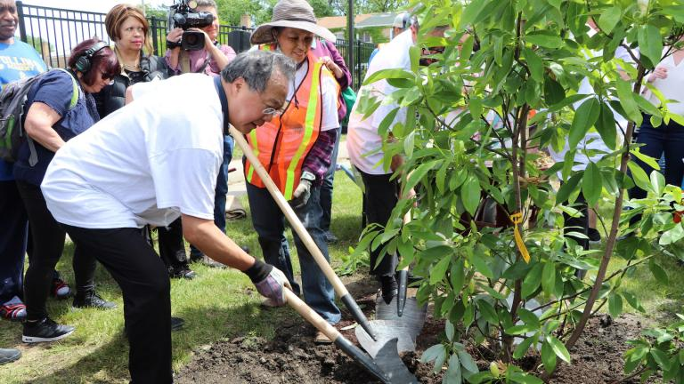 Cellist Yo-Yo Ma plants a magnolia tree in Chicago's Unity Park on June 21, 2019. (Evan Garcia / WTTW)