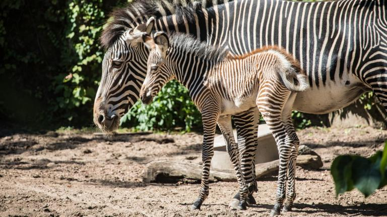 A baby Grevy's zebra was born at the Lincoln Park Zoo Aug. 14. (Christopher Bijalba / Lincoln Park Zoo)
